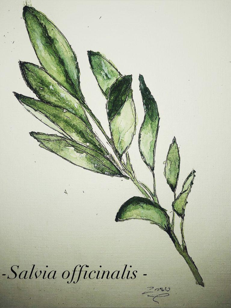 Szałwia Sauge, Salvia officinalis, sage